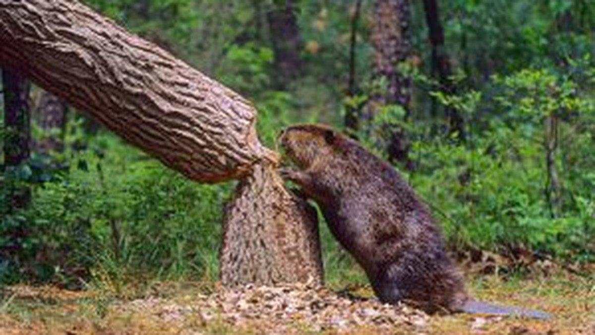 Beaver (file)