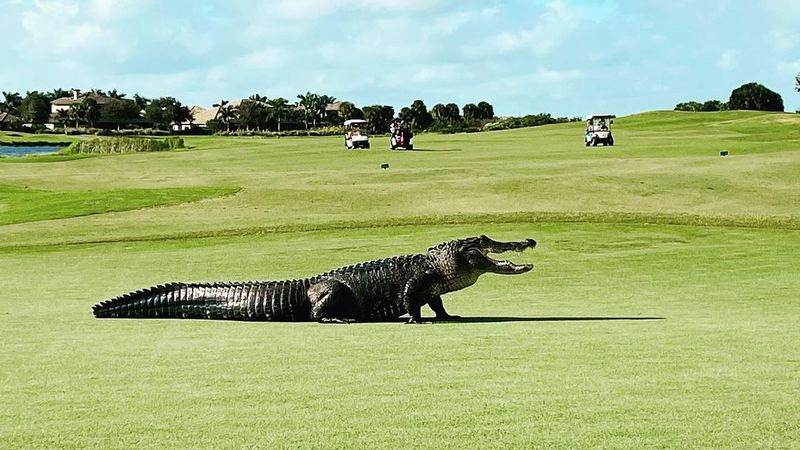Several golfers waited a safe distance away while the gator played through.