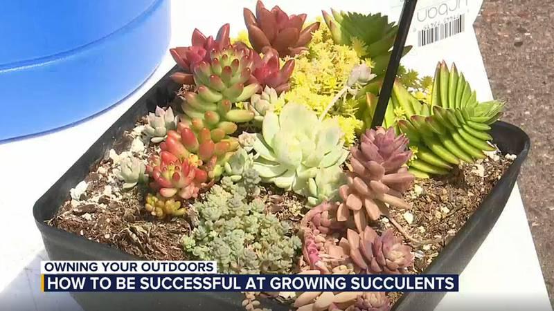 OYO Succulents