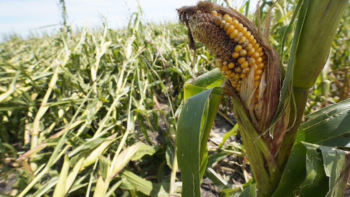 Corn field damaged by Aug. 10 derecho near Woodward, Iowa (file photo)