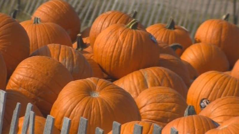 Pumpkins waiting to be chosen at the Colorado Pumpkin Patch in Monument.