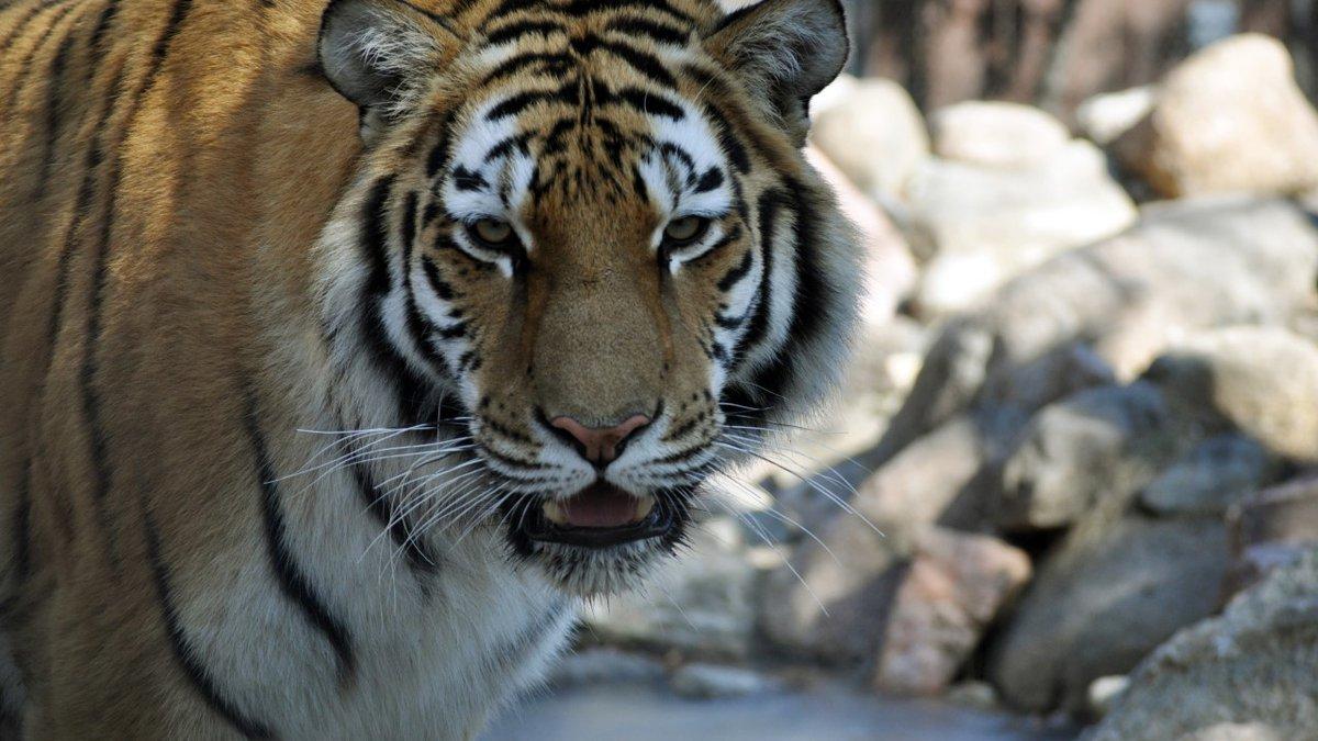 Amur tiger, Keesa (Courtesy: Great Plains Zoo & Delbridge Museum of Natural History)