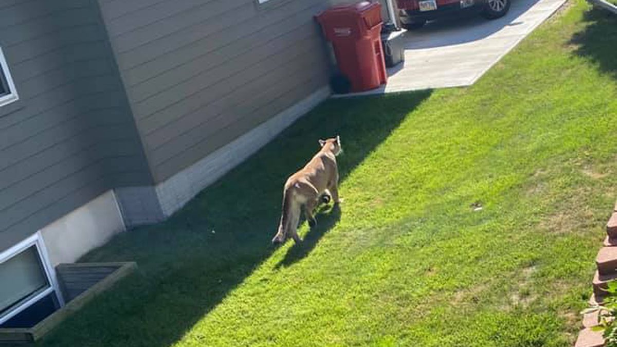 The mountain lion was seen in a neighborhood before heading towards the airport.