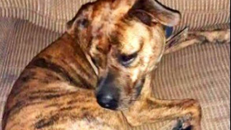 Ruby, Mathew Counts' three-year-old pitbull, was shot and killed Saturday, August 21.