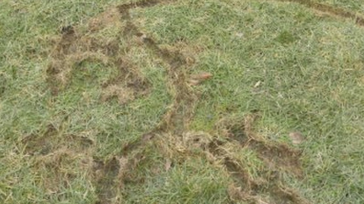 Vole damage looks like a lightning bolt in your yard.