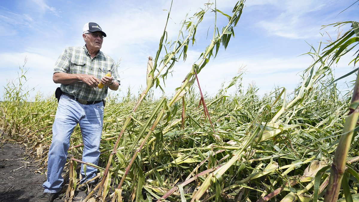 Rod Pierce looks at a cornfield that was damaged in the derecho earlier this month, Thursday,...