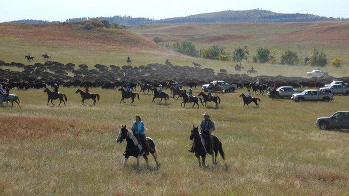 Custer State Park To Host Annual Buffalo Roundup And Arts Festival