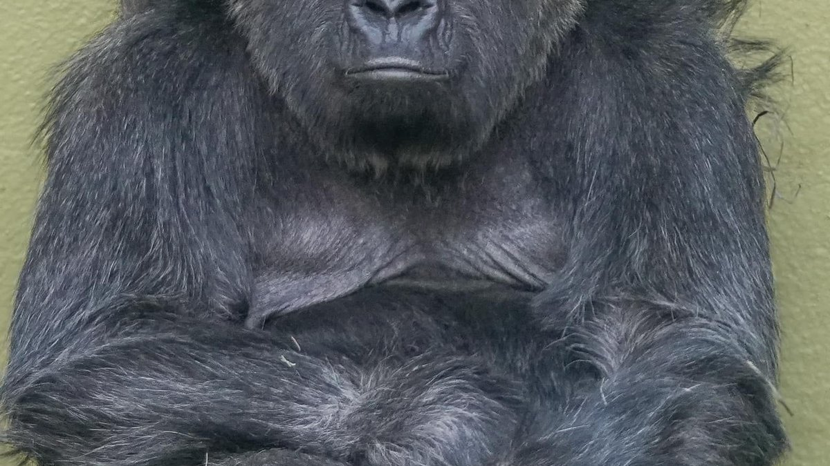 Atlanta's zoo says at least 13 western lowland gorillas have tested positive for COVID-19.