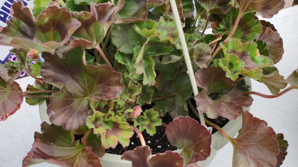 When cold-stressed, geranium leaves become a purpleish-red color.