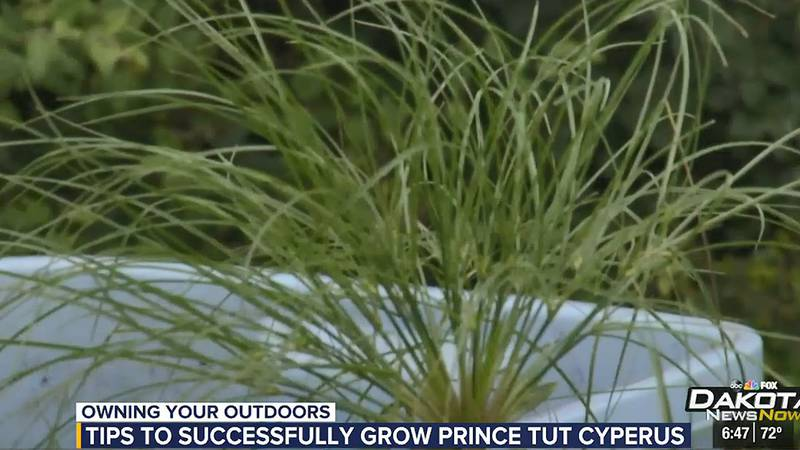 OYO Cyperus